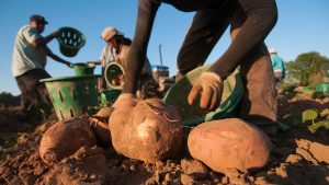 farm workers pick sweet potatoes